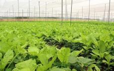 Nhà kính trồng rau