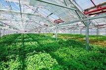 Sự phổ biến của mô hình nhà kính trồng rau trong nông nghiệp