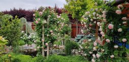 Vẻ đẹp quý phái của vườn hồng gai leo
