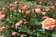 Chăm sóc hoa hồng theo kinh nghiệm của người Hy Lạp